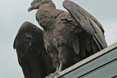 roofvogel_op_dak-1