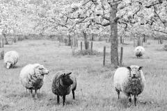 Schapen onder fruitboom