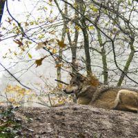 2020-12-19-Wolf-_DSC8029